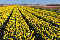 Field of yellow tulips of the species Yellow Purissima, Bollenstreek, Netherlands
