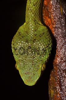 Bamboo Pit Viper, Trimeresurus gramineus, dorsal head scales, Matheran, Maharashtra