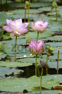 Lotusblume, Nelumbo nucifera, Thailand