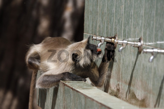 Hanuman-Langur Hanuman langur