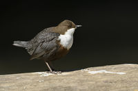 White throated Dipper * Cinclus cinclus *, detailed side view