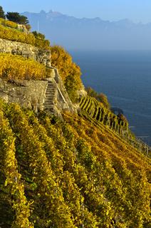 Terrassierte Steillagen im Weinanbaugebiet Lavaux über dem Genfersee, Rivaz, Lavaux, Waadt, Schweiz