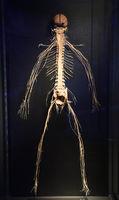 Präparat, Plastinat, Nevensystem des menschlichen Körpers,   Men