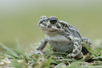 most beautiful toad... Green Toad *Bufo viridis* crouching on the ground in grass