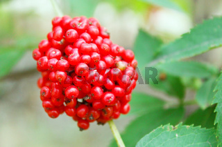 Branch with the wolf berries Sambucus racemosa