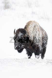 schneeverkrustet...  Amerikanischer Bison *Bison bison*