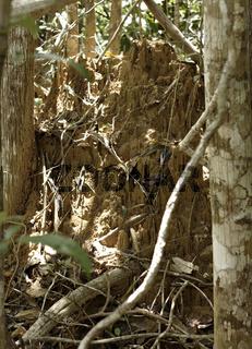 Termitenhügel, Atlantischer Regenwald, Mata Atlântica, Ecoparque de Una, Bahia, Brasilien, Südamerika