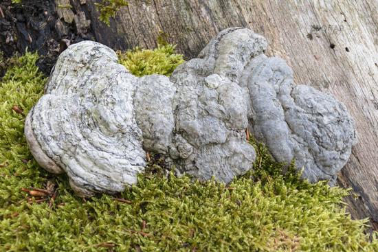 Tinder swam (Fomes fomentarius) tree mushroom