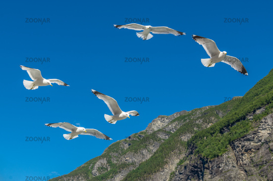 Seagulls at the Geirangerfjord
