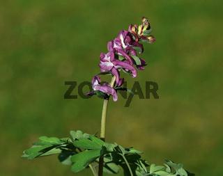 Hohler Lerchensporn; Corydalis cava; hollowroot; hollowroot-birthwort;