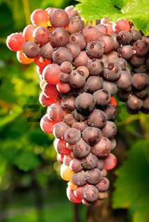 Red grapes glowing in the sunlight