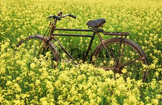 Vintage Bicycle in rural mustard field
