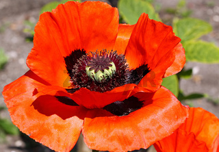 Roter Mohn, leuchtend, poppy, Papaver