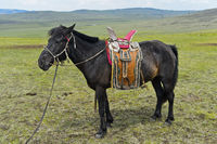 Bridled horse of a nomad with traditional saddle in the steppe, Mongolia