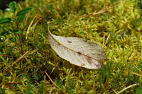 Autumn leaf lying on moss covered with raindrops