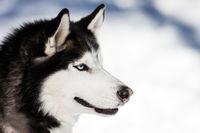 Cute siberian husky dog walking outdoor