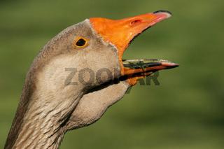 Europaeische Graugans (Anser anser), European gray goose, grey goose (Anser anser)