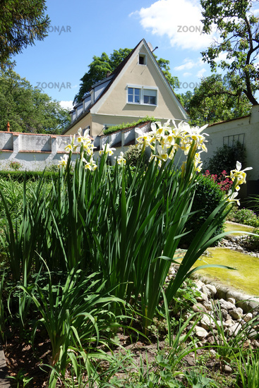 Iris ochroleuca, syn. Iris orientalis, oriental iris