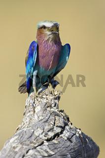 Gabelracke, Gabelrake, Gruenscheitelracke, Gabelschwanzracke (Coracias caudata) Moremi National Park, Okavango Delta, Botswana, Afrika, Lilac-breasted Roller, Africa