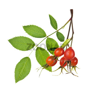 Branch with rose hips