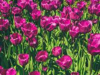 purple  flowers  - tulip  flower field