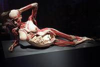 Präparat, Plastinat, im 8. Monat schwangere Frau,  Menschen Muse