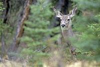 Mule Deer / Black-tailed Deer / Odocoileus hemionus