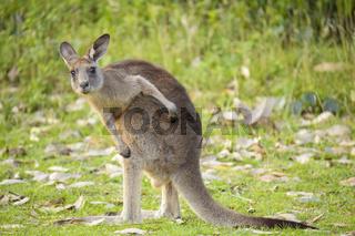 Grey Kangaroo, Macropus giganteus