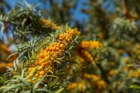 Sea buckthorn in the sunlight full of ripe berries.