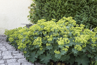 Blühender Frauenmantel (Alchemilla) im Garten