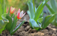Growing tulip plant