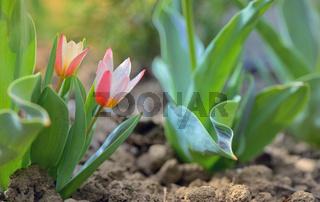 Growing tulip plant
