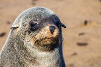 Fur seal basking in the autumn sun.