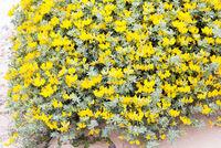 Flowering plant Lotus creticus close-up.