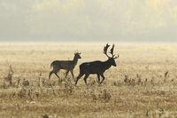 two fallow deers in mating season on meadow ( Dama )
