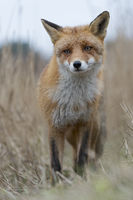careful and indecisive... Red Fox *Vulpes vulpes*