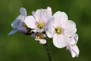Blüten des Wiesen-Schaumkrauts