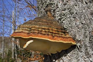 Baumpilz, Tree Mushroom