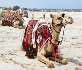 Ein Kamel liegt in der ägyptischen Wüste
