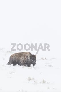 im Kampf gegen die Gewalten...  Amerikanischer Bison *Bison bison*