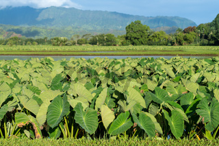 Taro plants in Hanalei Valley in Kauai