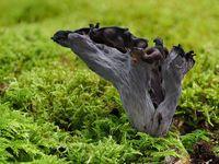 horn of plenty, black chanterelle