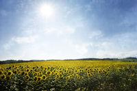 Sonnenblumenfeld im Gegenlicht mit überlagerter Textur