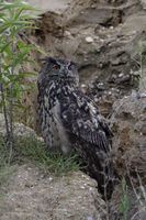 resting over day... Eurasian Eagle Owl *Bubo bubo* watching attentively