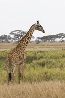 giraffe standing on the shore of a small pond on the background of the savannah and acacia