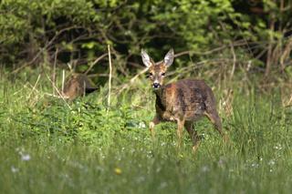 Reh (Capreolus capreolus), Schleswig-Holstein, Deutschland, Europa / Roe deer (Capreolus capreolus), Schleswig-Holstein, Germany, Europe