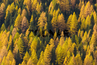 Autumnal colored mountain forest with larch trees