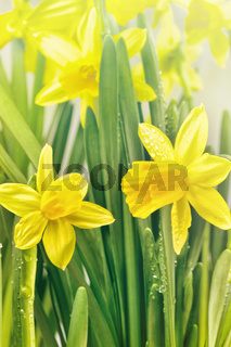 Yellow narcissus flowers and green leaves