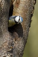 Blue tit at the nest
