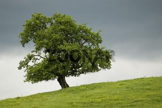Baum vor Gewitterwolken im Nationalpark Kalkalpen, Oberösterreich, Österreich
